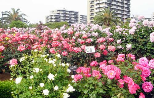 とこ春のくに・千葉で色鮮やかに咲き誇る花々の名所を巡る旅6選