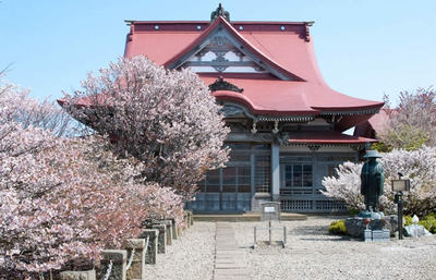 日本で最も開花が遅い桜、海を渡ってやってきた千島桜の美しさを知る旅