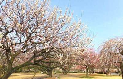 日本三名園に数えられる水戸の偕楽園、世界屈指の広大な庭園で四季折々の花の彩りを楽しむ旅