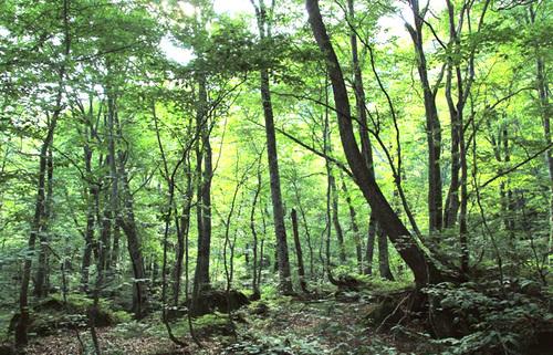 世界自然遺産の白神山地、ブナ原生林のパワーに癒され、コバルトブルーの青池の神秘を知る旅