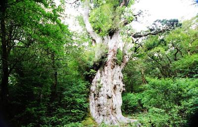 世界自然遺産の屋久島、樹齢数千年という神秘の巨木や大自然に触れ、人の営みの原点を知る旅へ