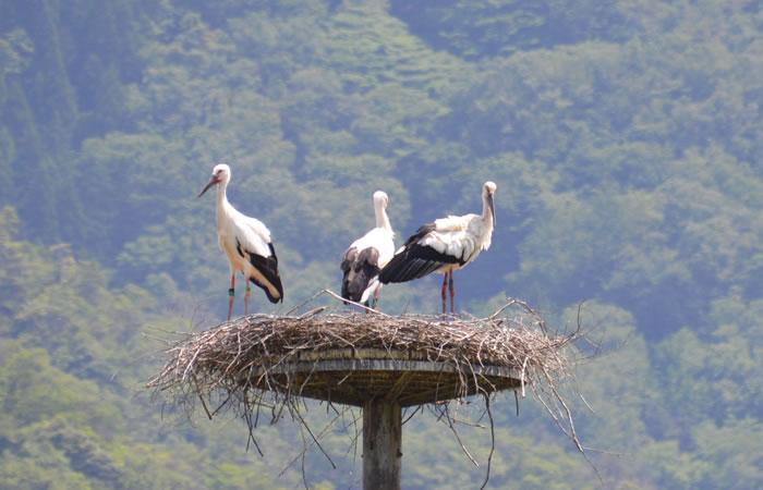 人工巣塔で羽を休めるコウノトリ