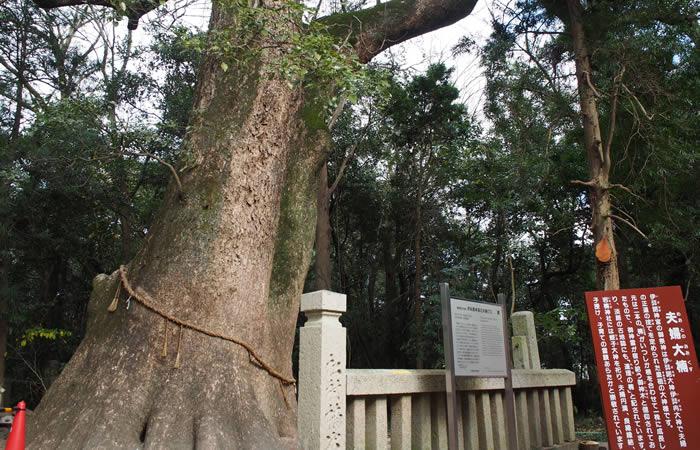 県指定天然記念物の夫婦楠木