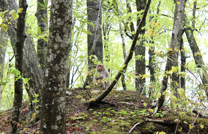 ブナの森の中に佇むニホンザル