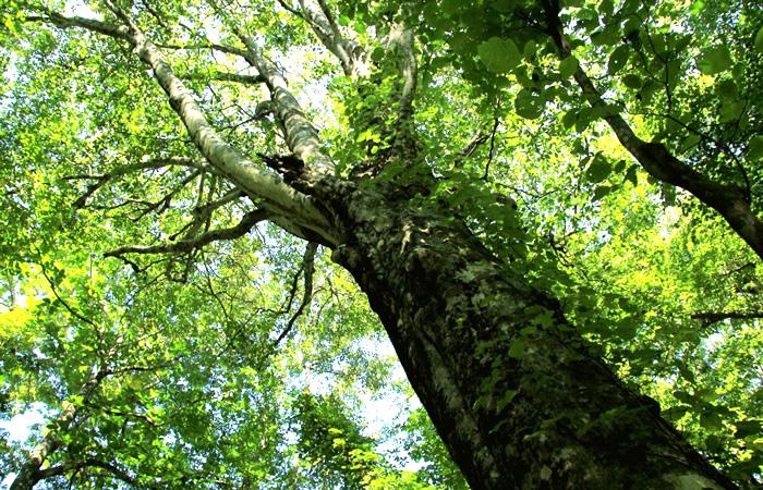 白神山地のブナの巨木